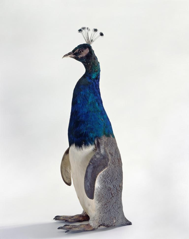 Thomas Grünfeld, Misfit (penguin peacock)