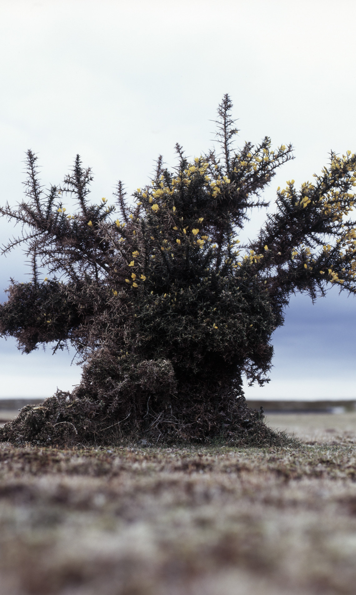 James Hankey, Gorse